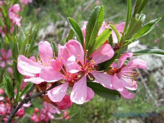Decorative almonds, types and varieties, planting rules and features of agricultural engineering