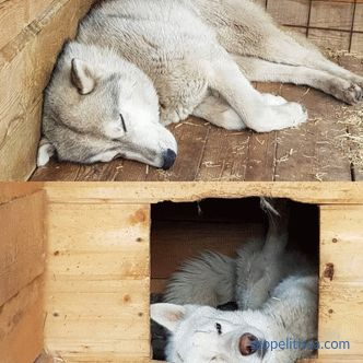 Aviary for huskies: how to make and where to install